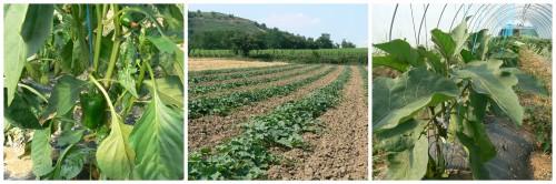 cultures bio, légumes bio, producteur, maraîcher, Ardèche, AB