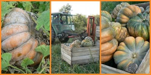 récolte potiron agriculture biologique courge