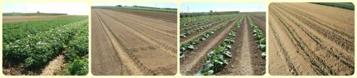 Cultures en plein champ (pommes de terre, semis carottes, courges, poireaux repiqués) - Juin 2016