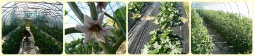 Aubergines, courgettes en extérieur et tomates sous serres - Juin 2016